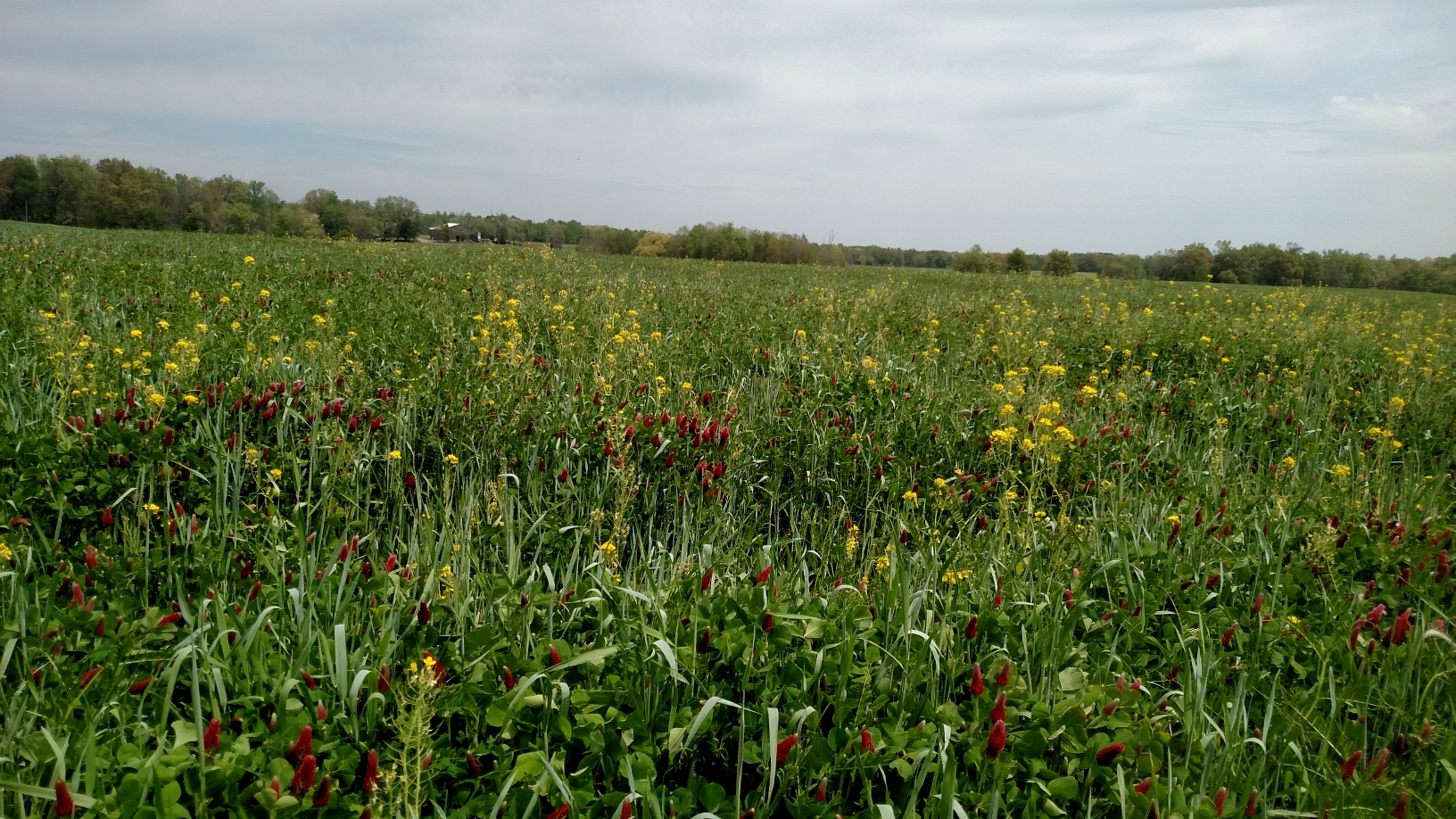 Multi-species cover crop